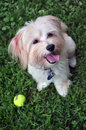 Adorable portrait of a young havanese puppy six month old playing and posing in grass with ball Royalty Free Stock Image