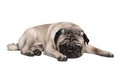 Adorable pug dog lying down isolated on a white background Royalty Free Stock Photos
