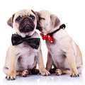 Adorable pug puppy dogs couple Stock Image