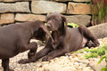 Adorable puppies in the garden of deutscher kurzhaariger vorstehhund Stock Image