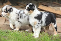Adorable puppies standing in the garden of australian shepherd Royalty Free Stock Photography