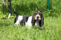 Adorable puppy of basset hound looking at you directly Stock Photography