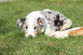 Adorable puppy of collie smooth in the garden lying nice Stock Photography