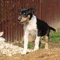 Adorable puppy of collie smooth in the garden moving Royalty Free Stock Image