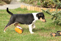 Adorable puppy of collie smooth in the garden moving Stock Photo