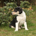 Adorable puppy of collie smooth in the garden nice Royalty Free Stock Photos
