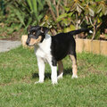 Adorable puppy of collie smooth in the garden standing Stock Photos