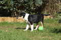 Adorable puppy of collie smooth in the garden standing Stock Image
