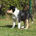 Adorable puppy of collie smooth in the garden standing Royalty Free Stock Images