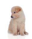 Adorable puppy dog with smooth hair isolated on white background Stock Images