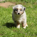 Adorable puppy standing in the garden of australian shepherd Royalty Free Stock Images