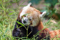 Adorable red panda Royalty Free Stock Photo