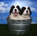 Adorable Saint Bernard Pups Royalty Free Stock Images