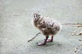Adorable seagull baby walking grey Stock Photography