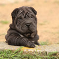 Adorable shar pei puppy in the garden looking at you Stock Image