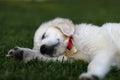 Rozkošný spacie biely šteňa