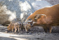 Adorable visayan warty piglets with mother piglet in the dirt Royalty Free Stock Image