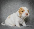 Adorable 4 week old cocker spaniel puppies Royalty Free Stock Photo