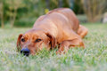 Adorable young dog lazy lying rhodesian ridgeback female on the grass in garden the has a beautiful face and looking tired Stock Image