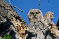 Adorable young owlet making direct eye contact with you from its nest high in Stock Photos