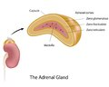 The adrenal gland Stock Photos