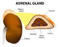 Adrenal gland the glands consisting of two structurally different parts the cortex and medulla medulla secrete Royalty Free Stock Photo