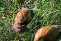 Adult african achatina snails eats green grass outdoors Royalty Free Stock Photo