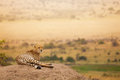 Adult African cheetah laying on the hill Royalty Free Stock Photo