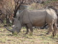 An adult african white rhino standing on grass eating Royalty Free Stock Photos