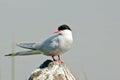 Adult Arctic Tern Royalty Free Stock Photo