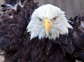 Adult Bald Eagle Stock Images