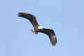 Adult bald eagle haliaeetus leucocephalus in flight against a blue sky Stock Photos