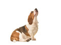 Adult basset hound sitting seen from the side looking up