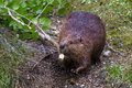Adult Beaver Royalty Free Stock Photo