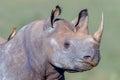 Adult Black Rhinoceros Profile...