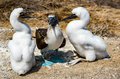 Adult blue footed booby between two fledglings Royalty Free Stock Photo