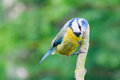Adult blue tit on stick Royalty Free Stock Image