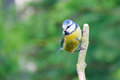 Adult blue tit on stick Stock Image