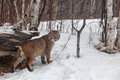 Adult bobcat looks over his shoulder winter minnesota Royalty Free Stock Image