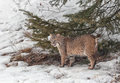 Adult bobcat near pine tree winter minnesota Stock Images