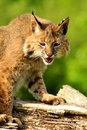 Adult bobcat sitting on log. Stock Image