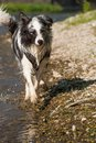 Border colie dog at the river Royalty Free Stock Photo