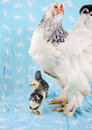Adult Brahma chicken with two young Stock Photos