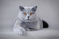 Adult British shorthair cat Stock Image