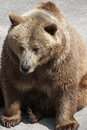 Adult brown bear ursus arctos arctos Stock Image