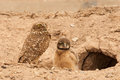 Adult burrowing owl with chick standing by young in front of burrow Stock Photo