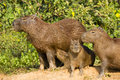 Adult capybara and various aged juveniles a group of capybaras near the green bushes female looking off in the distance a baby Stock Photos