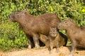 Adult Capybara and Various Aged Juveniles Royalty Free Stock Photo