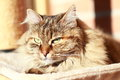 Adult cat brown tortie tabby mackerel version of siberian cat breed on the scratching post in the morning Royalty Free Stock Images