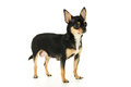 Adult chihuahua dog stands isolated Royalty Free Stock Photo